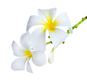 blommar frangipanibrunnsorten Royaltyfri Bild