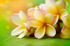 blommar frangipanibrunnsorten Arkivfoton