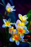blommar frangipanien