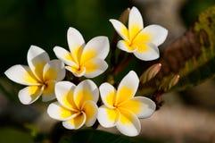 blommar frangipanien arkivfoto
