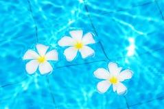 blommar frangipanien Royaltyfri Bild