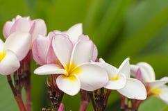 blommar frangipanien Royaltyfria Bilder