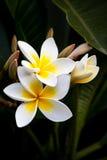 blommar frangipanien Arkivbild