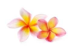 Blommar frangipanien (plumeria) som isoleras på vit Royaltyfri Fotografi