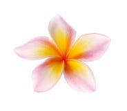 Blommar frangipanien (plumeria) som isoleras på vit bakgrund Fotografering för Bildbyråer