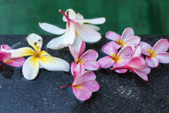 blommar frangipanipölsimning Bali ö Arkivfoton