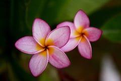 blommar frangipanipink Arkivfoto