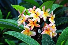 blommar frangipanis Arkivbild