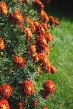 blommar fransman Arkivfoton