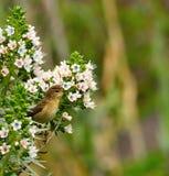 Blommar gemensam chiffchaff för fågeln som fast beslutsamt håller ögonen på på echium Arkivfoton