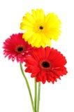 blommar gerber Arkivbild