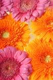 blommar gerber Arkivbilder