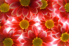 blommar gerber Royaltyfria Foton