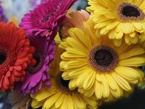 blommar gerberaen Royaltyfri Bild