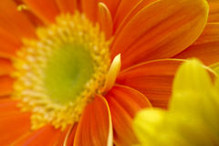 blommar gerberaen Royaltyfri Fotografi
