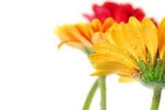 blommar gerberaen Fotografering för Bildbyråer