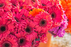 blommar gerberaen Royaltyfria Bilder