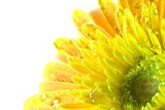 blommar gerberamakroyellow Arkivbild