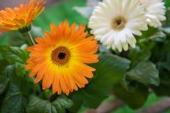 blommar gerberaorangen royaltyfri fotografi