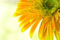 blommar gerberaorangen Arkivfoto