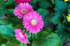 blommar gerberapink arkivbild