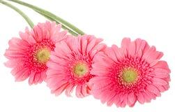 blommar gerberapink Fotografering för Bildbyråer