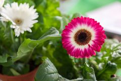 blommar gerberared royaltyfri foto