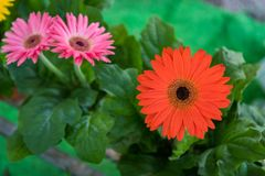 blommar gerberared royaltyfria bilder