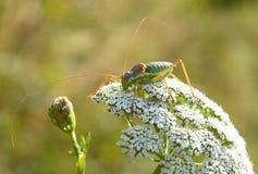 blommar gräshoppan Arkivfoton