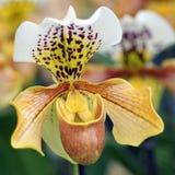 Blommar grunt djup för orkidé av fältet Royaltyfri Fotografi