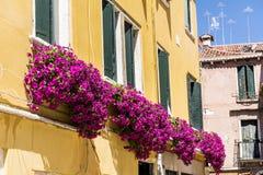 Blommar gul byggnad för antikviteten med terrassen med den rosa blommande petunian i Venezia arkivbild