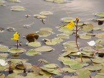 Blommar gula äggkapslar för vatten på vattnet Arkivfoto