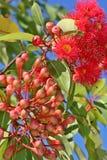 blommar gumnut Royaltyfri Bild