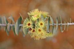 blommar gumnut Fotografering för Bildbyråer