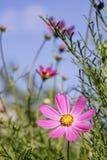 blommar härlig skönhet för asterbakgrund wild Arkivbilder
