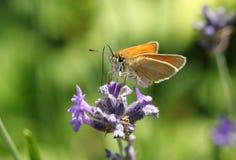 Blommar härliga små en skepparefjärilsThymelicus sylvestris som nectaring på en nätt lavendel royaltyfri fotografi