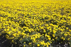 blommar havet Royaltyfria Bilder