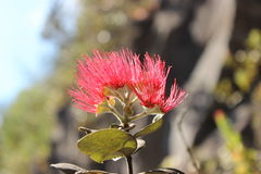 blommar hawaiibo Royaltyfri Bild