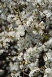 blommar hawthorne Royaltyfria Bilder