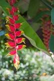 blommar heliconia Royaltyfri Fotografi