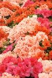 blommar hibiskus Royaltyfri Foto