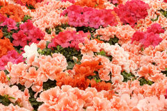 blommar hibiskus Royaltyfri Fotografi