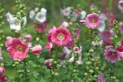 blommar hibiskuspink Royaltyfri Fotografi