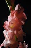 blommar hibiskuspink Arkivfoton
