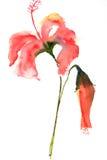 blommar hibiskusred Arkivbilder