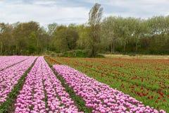 blommar holland Arkivbilder