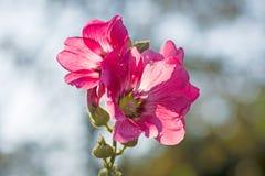 blommar hollyhockpink Arkivfoto