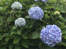 Blommar hortencias Arkivbilder