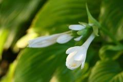 blommar hostaen Royaltyfri Fotografi