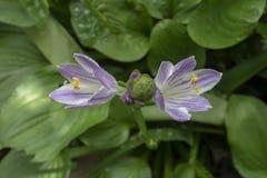 blommar hostapurple royaltyfria bilder